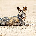 African Wild Dog by Science Photo Library