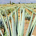 Agave Cactus Field In Mexico by Elena Elisseeva