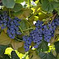 Agriculture - Concord Tablejuice Grapes by Gary Holscher