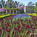 Alcazar Garden Vibrant Color Display Balboa Park  by David Zanzinger