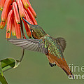 Allens Hummingbird Feeding by Anthony Mercieca