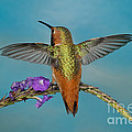 Allens Hummingbird Male by Anthony Mercieca