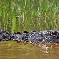 Alligator by Dennis Goodman