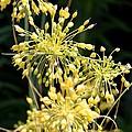 Allium Flavum Or Fireworks Allium by J McCombie