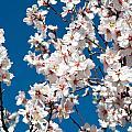 Almond Blossom by Ingela Christina Rahm