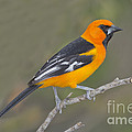 Altamira Oriole by Anthony Mercieca