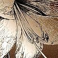 Amaryllis by J McCombie