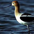 American Avocet Bird Portrait by Olde Time  Mercantile