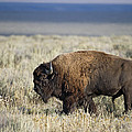 American Bison by Gary Langley