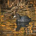 American Coot by Mitch Shindelbower