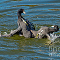 American Coots Fighting by Anthony Mercieca