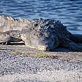 American Crocodile by Mitchell Rudin