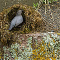 American Dipper Building Nest   #1535 by J L Woody Wooden