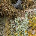 American Dipper In Nest   #1468 by J L Woody Wooden