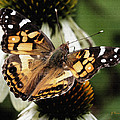 American Lady Butterfly by James C Thomas
