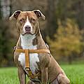 American Staffordshire Terrier by Johan De Meester