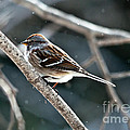American Tree Sparrow  by Cheryl Baxter