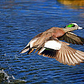 American Wigeon by Donna Kennedy