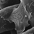 Amoeba Crawling On Nylon Mesh Sem by David M. Phillips
