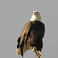 An Eagle Perched   by Jeff Swan
