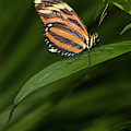An Isabella Butterfly Eueides Isabella by Henry Georgi