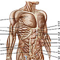 Anatomy Of Human Abdominal Muscles by Stocktrek Images