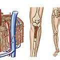 Anatomy Of Human Bone Marrow by Stocktrek Images