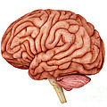 Anatomy Of Human Brain, Side View by Stocktrek Images