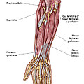 Anatomy Of Human Forearm Muscles, Deep by Stocktrek Images