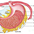 Anatomy Of The Human Stomach by Stocktrek Images