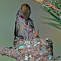 Annas Hummingbird Feeding Young by Anthony Mercieca