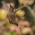 Anna's Hummingbird by Mike Herdering