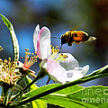 Apple Blossom And Honey Bee by Sharon Woerner