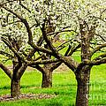 Apple Blossoms by Joe Mamer