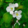 Apple Blossoms by Johanna Bruwer