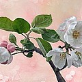 Apple Blossoms by Manfred Lutzius