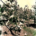 Apple Blossoms by Michelle Calkins