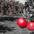 Apple Orchard by Jim West