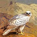 Greenland Falcon by Archibald Thorburn