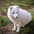 Arctic White Fox by Steve McKinzie