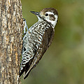 Arizona Woodpecker by Anthony Mercieca