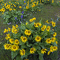 Arrowleaf Balsamroot And Lupine by John Shaw