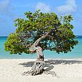 Aruba Divi Divi Tree by DejaVu Designs