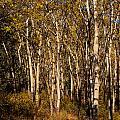 Aspen Forest In Fall by Stephan Pietzko