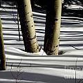 Aspen Shadows by Carol Milisen