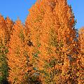 Dm5532-aspens In Fall by Ed  Cooper Photography