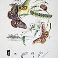 Australian Butterflies by Philip Ralley
