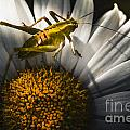 Australian Grasshopper On Flowers. Spring Concept by Jorgo Photography - Wall Art Gallery