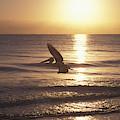 Australian Pelican Glides At Sunrise by Jurgen Freund