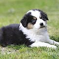 Australian Shepherd Puppy by Jean-Michel Labat